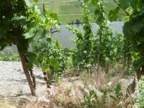 Steep vineyards in the Goldtröpfchen