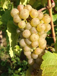 Healthy Riesling Grape Cluster in Ockfener Bockstein