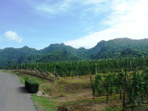 The vineyards of GranMonte Winery